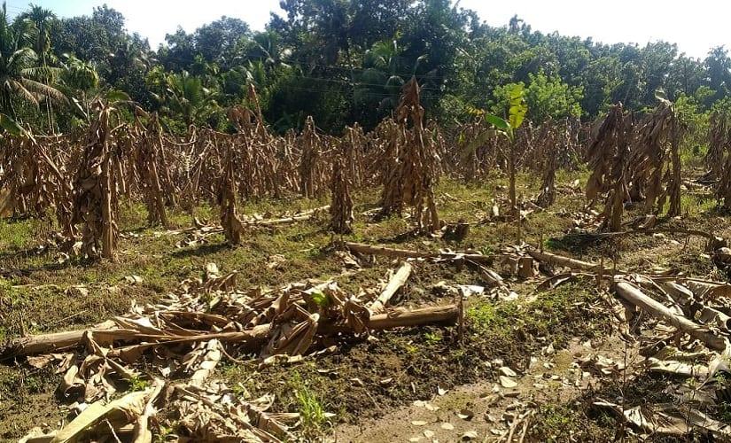 plantain-crops